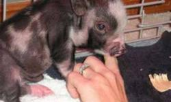 Hi I am looking for a small bread potbelly pig for a reasonable price . I have wanted one since I was a kid , To give a loving home to.. If anyone can tell me where I can find a breeder or other wise please contact me~!! thanks!!!