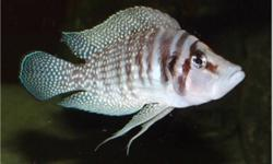 """""""wanted white calvus, red fin comps"""" hi, i'm looking for white calvus cichlids 1.75 inches or bigger, let me know if you have any , can't find any ,thanks"""