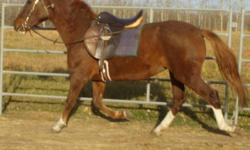 * Invader Zim (Zim) is a 15hh, and growing. Warmblood gelding, sorrel, 3 years old,  Has been started under saddle with rider and has been very accepting of his training. Zim is quiet and polite, easy to catch, good with feet, and has a very sweet