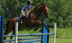 """1998 16.3 hh Holsteiner x Thoroughbred Gelding for sale. Sired by Silberpfeil, and out of a Police Car mare, he has large, flowing gaits, a sweet personality, and great manners. A barn favorite! He has schooled up to 3'6"""", shown up to 3' jumpers, has many"""