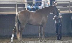 VandenBrink Warmbloods offers for sale a variety of quality warmbloods out of premium and proven producer mares, by high quality proven sires such as Westporte, Redwine, Oxford, Sinatra Song, Gervantus II, Landfriesse II, Freestyle and more. Whether you