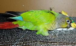 Cute little Green Cheek Conure! ready to go this weekend. Hand fed....very tame....and looking for its new forever home:) Pictures were taken Monday Dec 12. Birds raised with love and Gentleness. Weaned onto a pellet diet...and  also on to fresh/frozen