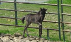 2011 BLUE ROAN Colt (AMHR Pending) OBF Bentleys Johnny Jump Up x JEM Miss Canada This little colt will is very easy going and has had consistent handling. He lunges and has had halter work. He will make a great pet/compantion or show horse! He would make
