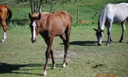 Hunter is a grade QH cross. He is smart, friendly, and easy to handle. He halters well, picks up his feet, and has had a saddle on. He is a bright horse and would make a great riding horse. $300.00 o.b.o. For more information contact Bonnie at