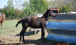 Dancer is a paint QH colt. He is easy to handle, halters well, and is good with picking up his feet. He is very friendly and loves attention. $400.00 o.b.o. For more information contact Bonnie at 306-272-4738. Pic 1: Dancer Pic 2: Dancer and Dam (dam is a