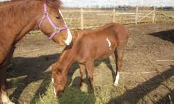 Born April 28,2011. Paint, welsh, Weanling...Gracie is  needing a home... The sooner the better... asking $400 but we understand the market and just would like to find her a home. She is such a sweatheart... Her mother needs a home as well but she has a