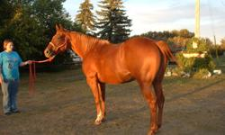 Dyans Legacy is a appendix registered mare 15.2hh 6yr old she is very well broke great in the arena indoor or out great on trails and has worked some cows. Has been in a few local shows handles everything in stride. Ride her bareback with a halter. Has