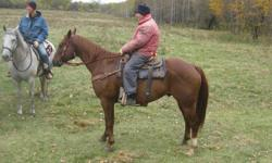 MAJORS JACKS N BARS - Extremely quiet and calm 6 year old Quarter Horse gelding about 15.2H. He is very gentle on the ground as well as under saddle. Very light and responsive. Tons of miles in the pasture. Used for roping, would make a good competitive