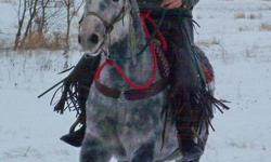 - 15hh - 7 Years old - Stunning Dapple Grey Color- Must be seen ( dark hooves, light colored face) - Easy to care for, maintains her weight - Well mannered; very friendly - Works well with other horses - Excellent hooves - Saddle broke since 2 years old -