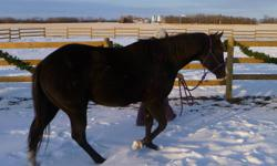 Well built, 3 Year old Black, Reg. SB Paint Gelding Jake is a three year old with nice conformation, could go into reining.  35 days of training, dewormed and has bloodlines to work cattle or ranch work.  Needs an experienced rider, he has been started by