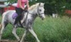 Lady Grey (Sophie) is a 4 year old mare, 14hh, Canadian bred. She is a well bred Welsh Cross. She has done dressage, hunter, field hunting (October 1st), schooling shows, fairs, hacks well and is 100% road safe. No pony attitude, no stops at fences.