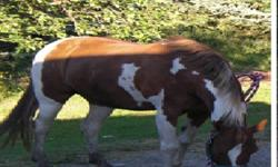 She is a welsh cross paint. Reason for selling her is because I cant efford to keep her any more, and would really like her to go to a nice home.Very cute and would be a great buddy horse, and also cuddling love to be brushed. Also would be a amazing
