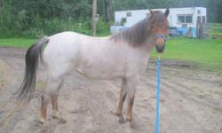 Coming 4 year old Registered Chestnut Roan Section B Welsh Pony Filly. Westrum's Cardinal X Joy's Little Sheba Tu.  Approx 12 hands.  Started ground work for driving this fall.  Shown once as a yearling to 4th in Welsh Fillies and 2nd in Sport Ponies in a