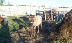 I have a female welsh pony forsale she was born April 2010 for more info email me or call me at 389-2418