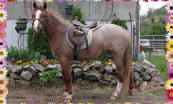 Adorable, 3 year old, 11.2 Hands bright red roan mare. Very friendly and sweet, quiet and gentle. Wonderful lead-line pony, goes nicely under saddle. Great with other horses, children and pets. Please visit our website: www.hiddenhills.ca and Mariposa