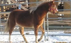 PRETTY WELSH X PONY FILLY. 18 MOS OLD,11.3 HH-BELLE WILL MATURE TO 12.2+ hh. SHE HAS BEEN HANDLED SINCE BIRTH,SHOWN,HAULED,VACC,WORMED ETC. SHE HAS ALSO BEEN SADDLED, AND WILL MAKE A LOVELY CHILDS SADDLE PONY OR DRIVING PONY.