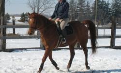 Classy is a very smooth horse to ride, ideal for riders with sore backs. Smooth trot and rocking horse canter! She easily goes walk, trot, canter and can jump small jumps. Classy has a scar on her hind right leg, being ridden on the flat helps to control