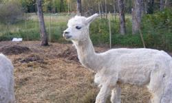 I am selling my white alpaca with blue eyes for $50.00. I don't need two intact males in my little herd. He was sheared this year, and dewormed too.