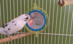 I have a 1 yr old white budgie for sale . I just don't have time to properly take care of it. Great personality . Comes with cage toys and food . This ad was posted with the Kijiji Classifieds app.