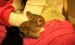 White feet is litter trained and born on Nov 4th 2011. You can feed this little one by your hand with hay or rabbit food. White feet is very gentle and playful. I have other two bunnies at home plan to sale. A perfect gift to a family! I am looking for