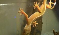 Adult male white lined gecko. Very healthy. This ad was posted with the Kijiji Classifieds app.