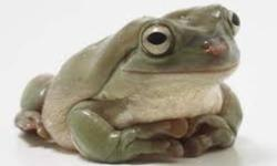 I have two White's Tree Frogs I need to rehome. Both are regular brown/green colour. $40 each or both for $70. They need someone experienced or who has done their research!