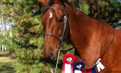 Beautiful 12 y/o 16hh WBx gelding. Many show miles in jumping and dressage. Very good boy and sound, sane and healthy. Easy keeper and low maintenance. Ties, clips, bathes, braids, stands and good for vet and farrier. Has even been ridden western and