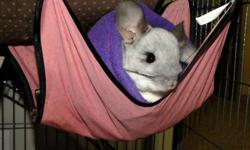Two white Mosaic female Chinchillas for sale. Price is for the pair! Nice tempered, and love Raisins (: Very well socialized with large and small dogs! Used to vacuum cleaning and piano playing!  Only selling due to allergies! They come with their