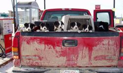 PB Border Collie pups for sale. Parents used for both working  sheep and cattle on East Central Alberta ranch. Please contact for more information. 403 779 2662 or email kelseydawnbeasley@gmail.com