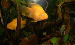 I have three X large Tennis Ball size very healthy parrot fish for sale. I'm looking to get $40.00 O.B.O each or $80.00 for all three. They are eating anything from flake, pellets. They are in a community tank with Rummy nose, Angels and Discus. Very