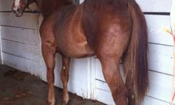 """""""Jeeter"""" is the quietest colt I've ever raised, good with farrier & was even body clipped and just stood there. Has been handled by 12 yr old girl & is awesome. Reminic, Peppy Badge O'Lena, High Brow Hickory & Docs Haida & Doc Bar all on his papers."""