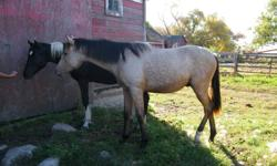 I have for sale a beautiful breeding stock paint buckskin stud colt.  He is fast and sturdy on his feet and going to make someone a great ranch horse or roping horse.  He has been haltered and led a bit but does need some time put on him.  His stud is