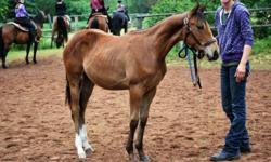 Stormy born june 2010 13'2hh should mature to be 15hh hes not reg but is registerable He is update on worming and feet He stands in cross ties, trailers, leads, ponies, lunges, has had a saddle on while being lunged, has had a full body clip so he is use