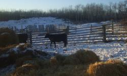 YEARLING HEIFER MAYBE PASTURE BRED ASKING $850 WOULD ALSO CONSIDER TRADING FOR SHEEP