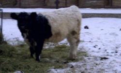 Speckled Park/Galloway cross heifers for sale.