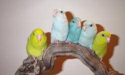 Breeding pairs of yellow and blue parrotlets. Yellow  -  banded 09, asking $300 for pair with cage; Blue, asking $160 for pair with cage
