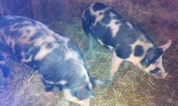 I have 2 young berkshire cross boars for sale. The father to them is berkshire and the mother was duroc so they are bershire crossed with duroc. One is about 230lbs and the other is about 180lbs. They both are very friendly and well cared for. These boars