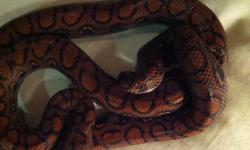 Hi everyone I have a early 2011 Brazilian rainbow boa just under a year old. Absolutely gorgeous snake!! Should mature between 6-7 feet and is a slim boa. Amazing feeding response, eats a small live rat weekly( will take fresh kills or thawed). I also