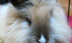 Breed: Lionhead Angora Rabbit   Age: Young   Sex: F   Size: S Cinnamon! Status: Available for adoption Age: Young adult Arrival Date: November 6th, 2011 Species: Rabbit Gender: Spayed Female Likes: Hopping, exploring, eating veggies and fruit, getting