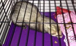 Hi, I have a young, healthy ferret for sale. He is neutered and descented. Also he's been litter trained and doesn't bite. The reason why I am selling him is because I am moving to a new place where the landlord doesn't allow pets. Also selling a 3-level