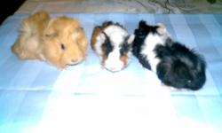 Approximately 6 weeks old.  Assorted colours and breeds.