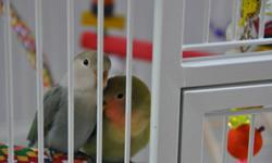 We have a pair of 3 1/2 month old hand fed LoveBirds. They are very friendly and like to sit on their owners shoulders / arms. 1) peach face 2) white face blue (not sure of sex).Their wings are clips but they easily fly within a room. We are enjoying them