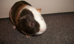 Male guinea pig for sale about a year old. Bought him this April but when we started school full-time in September we found we no longer had time for him. He would make a great Christmas gift for children of all ages. He is great around children, has