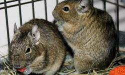 Breed: Degu   Age: Young   Sex: M   Size: M Two cute degus!     Two boy degus that we're still getting to know are available for adoption :) More to come soon!     For more information please visit: http://www.kingstonanimalrescue.com To Adopt: