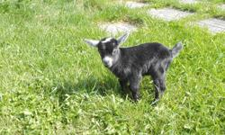 SELLING MY SMALL HERD OF PYGMY GOATS #1/ FEMALE......3YRS BRED #2/ FEMALE.......2YRS BRED #3/ FEMALE......1YRS BRED #4/ BUCK......2YRS #5/ BUCK......1YRS ALL SWEET ASKING: $1,000 OBO