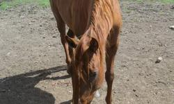 Hello   Registered Appendix mare, 7 years old would be great as a 4H or pony club project. She is 15.2HH. she is a beautiful mare that would make someone very happy! She would also make a great Barrel prospect! Been into mountains... did great. She is