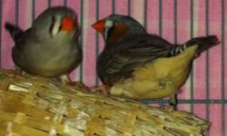 To all bird lovers, i have a pair (male and female) of ZEBRA FINCHES and a Female RED RUMP PARAKEET who is about about 3 years old, lots of fun and could be squeaky at times, i am re modeling the home and wont have a place for them.. They come with cage