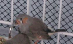 3 zebra finches completely flock friendly. About 7 weeks old. I would not be able to deliver, or provide a cage